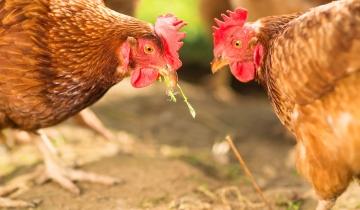 poules_vignette.jpg